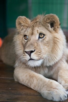 After receiving medical care in Russia, Simba has recovered and is now a beautiful, proud lion who will be repatriated to Africa to live in his natural habitat. All costs are being covered by the Russian Copper Company.